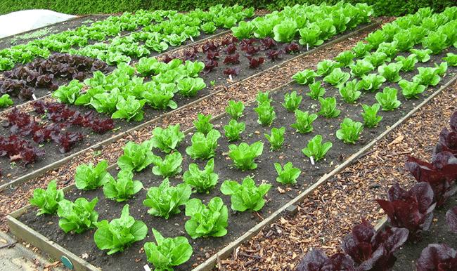 organic-lettuce-garden